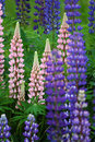 Lupines no.3 Royalty Free Stock Images