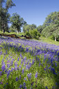 Lupines and oak trees spring white northern california sierra foothills Royalty Free Stock Images