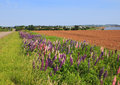 Lupines And Potato Fields