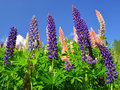 Lupines spring flowers in the mountains Royalty Free Stock Photo
