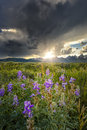 Lupines in the tetons purple bathed sunset light over teton peaks wyoming Royalty Free Stock Photos