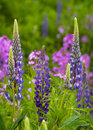 Lupins in beautiful pink and purple colors Stock Photo