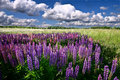 Lupinus commonly known as lupin or lupine field of Royalty Free Stock Images