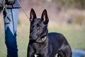 Lurcher german shepherd crossbreed dog being walked on lead Stock Photos