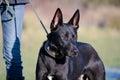 Lurcher german shepherd crossbreed dog being walked on lead Royalty Free Stock Photo