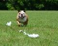 Lure coursing english bulldog running a course Stock Photo