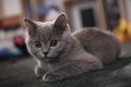 Lurking british shorthair kitten baby sitting on a grey carpet Stock Images