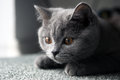 Lurking british shorthair kitten baby sitting on a grey carpet Royalty Free Stock Photos