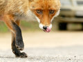 Lurking fox in the city Royalty Free Stock Photo