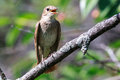 Luscinia luscinia, Thrush Nightingale Stock Photos