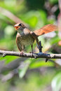 Luscinia luscinia, Thrush Nightingale Royalty Free Stock Photography