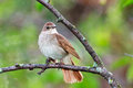 Luscinia luscinia, Thrush Nightingale Royalty Free Stock Photos