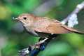 Luscinia luscinia, Thrush Nightingale Royalty Free Stock Images