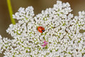 Luscious bloom of queen anne s lace with a tiny ladybug beautiful nestled inside Stock Photography
