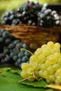 Luscious grapes Royalty Free Stock Image