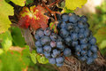 Luscious grapes in autumn Royalty Free Stock Images