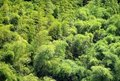 Lush Bamboo Forest Stock Photos