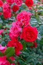 A lush bush of red roses on a background of nature. Many flowers and buds on the stem.