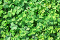 Lush clover texture Royalty Free Stock Photo