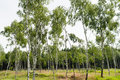 Lush european countryside birch tree forrest in summer Royalty Free Stock Photo