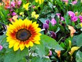 Bright Sunflower in Lush Colourful Garden Royalty Free Stock Photo
