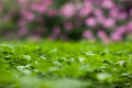 Lush green carpet of clover close up bokeh foliage and pink flowers macro view Stock Image