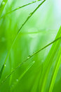 Lush green grass with dew shallow depth of field Royalty Free Stock Image