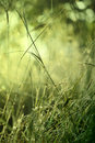 Lush green grass with dew shallow depth of field Stock Photo