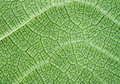 Lush green leaf closeup background or texture Royalty Free Stock Image