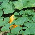 Lush green leaves Royalty Free Stock Photo
