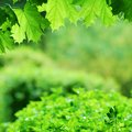 Lush green maple leaves and springtime background Stock Photo