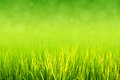 Lush green paddy in rice field. Spring and Summer Background Royalty Free Stock Photo