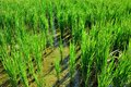 Lush green paddy in rice field. Spring and Autumn Background Royalty Free Stock Photo