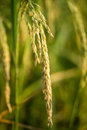 Lush green paddy in rice field. Spring Royalty Free Stock Photo