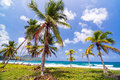 Lush green palm trees grove of on the caribbean coast in capurgana colombia Stock Photography