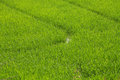 Lush green rice field Royalty Free Stock Photography