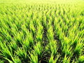Lush green rice field Royalty Free Stock Photos