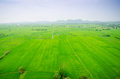 Lush green rice field and blue sky in asia background Stock Photo