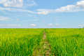 Lush green rice fields with clouds and sky. Royalty Free Stock Photo