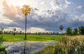Lush green Rice fields of the countryside Royalty Free Stock Photo