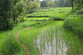 Lush green rice fields & paddy cultivation Royalty Free Stock Photo
