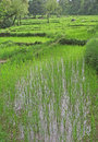 Lush green rice fields & paddy cultivation Royalty Free Stock Image
