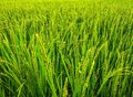 Lush green rice fields,small plots cultivated by nature. Royalty Free Stock Photo