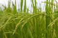 Lush green rice fields, small plots cultivated Royalty Free Stock Photo