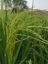 Lush Green Rice Paddy in Looks Beautiful Royalty Free Stock Photo