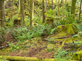 Lush green secondary rainforest grove in BC Canada Stock Photo