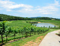 Lush green vineyard Royalty Free Stock Photos