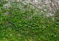 Lush green wall for texture background. Green ivy on the concrete wall. Royalty Free Stock Photo