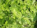 Lush greenery on the russian garden grows so parsley creates an indescribable beauty Royalty Free Stock Photography