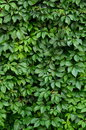 Lush Hedgerow Royalty Free Stock Photos